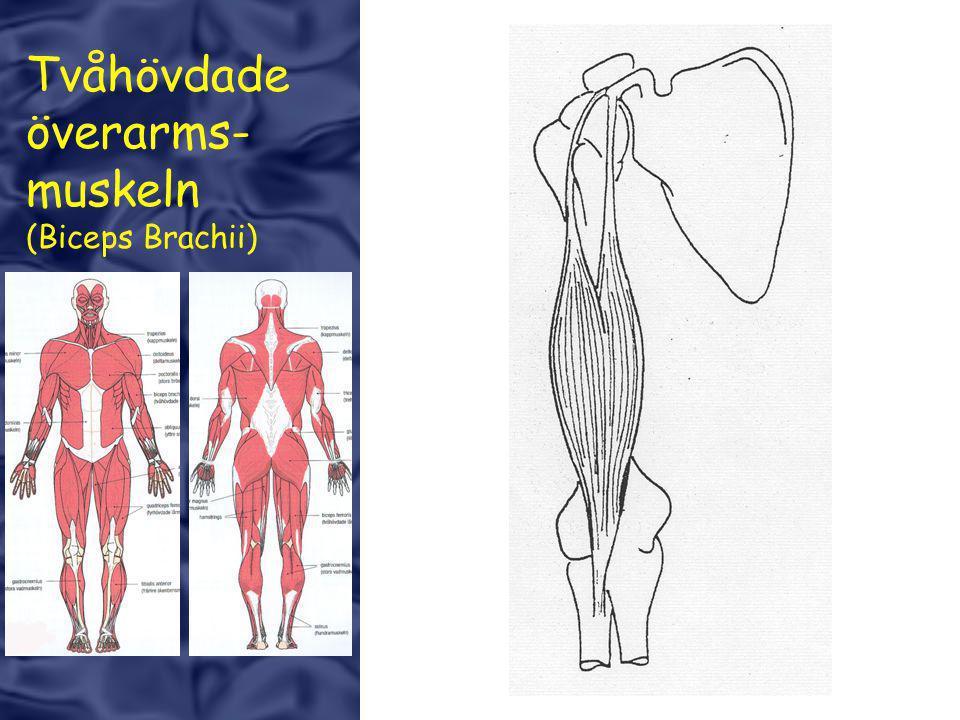 Tvåhövdade överarms- muskeln (Biceps Brachii)