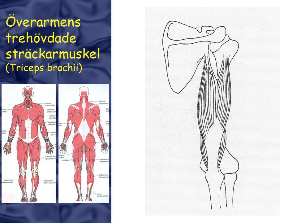 Överarmens trehövdade sträckarmuskel (Triceps brachii)