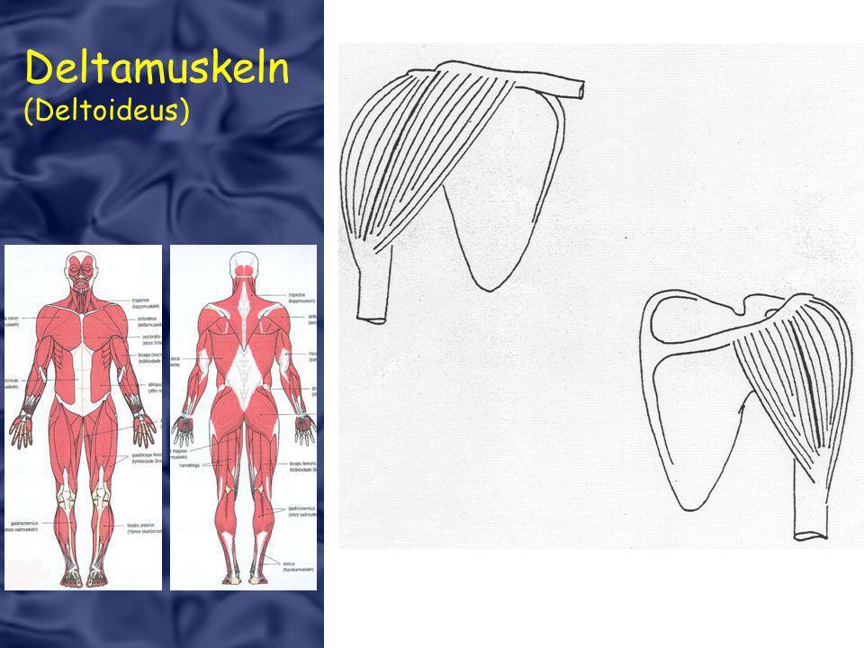 Deltamuskeln (Deltoideus)