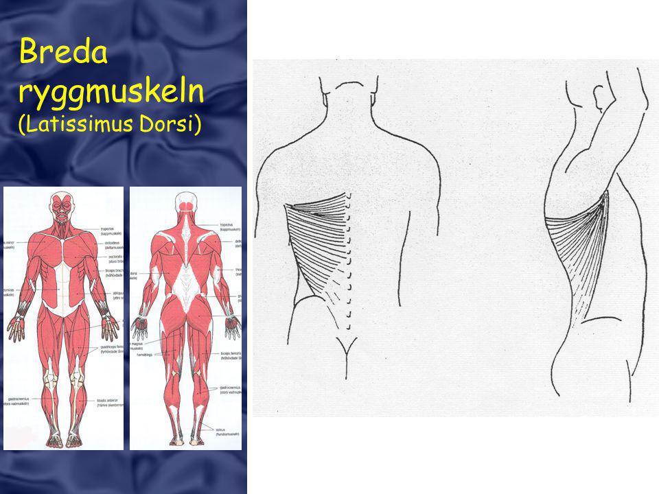 Breda ryggmuskeln (Latissimus Dorsi)