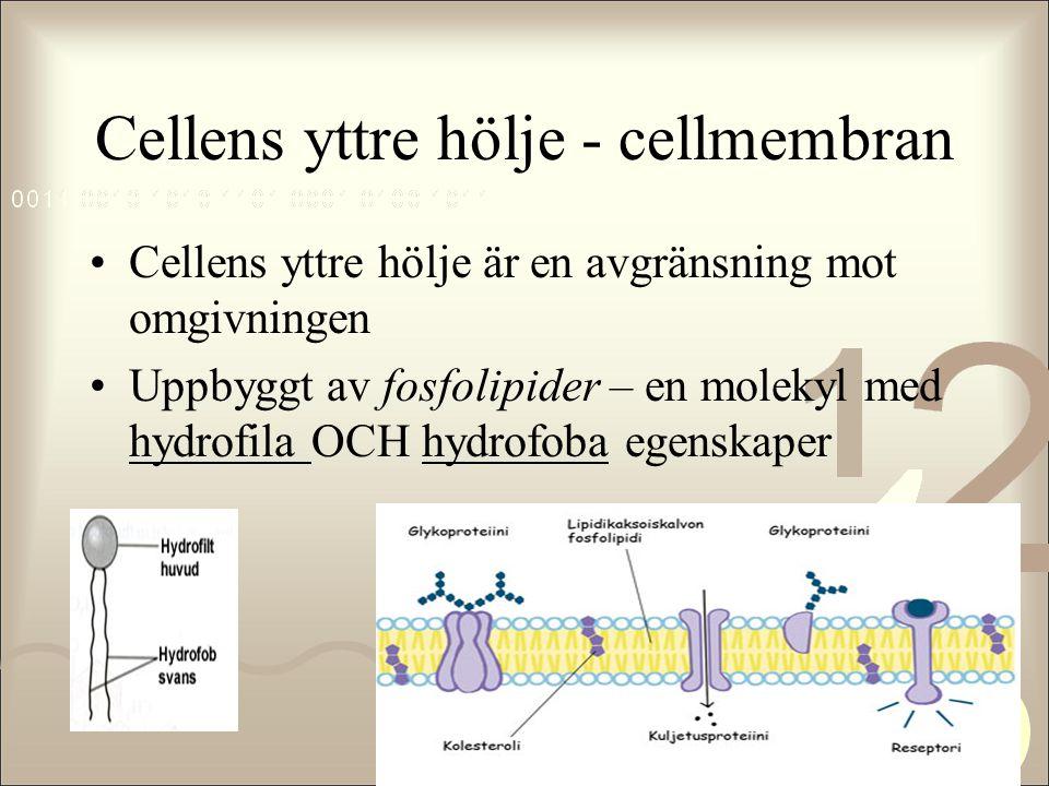 Cellens yttre hölje - cellmembran •Cellens yttre hölje är en avgränsning mot omgivningen •Uppbyggt av fosfolipider – en molekyl med hydrofila OCH hydr