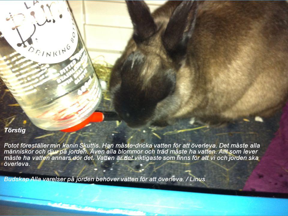 Törstig Fotot föreställer min kanin Skuttis. Han måste dricka vatten för att överleva. Det måste alla människor och djur på jorden. Även alla blommor