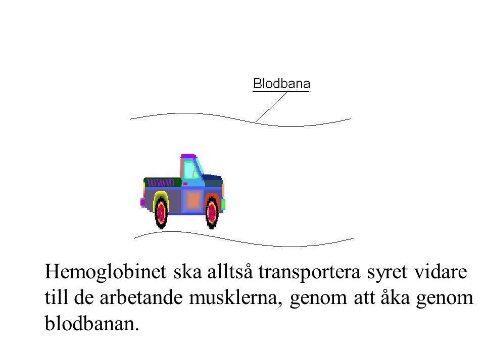 Hemoglobinet ska alltså transportera syret vidare till de arbetande musklerna, genom att åka genom blodbanan.