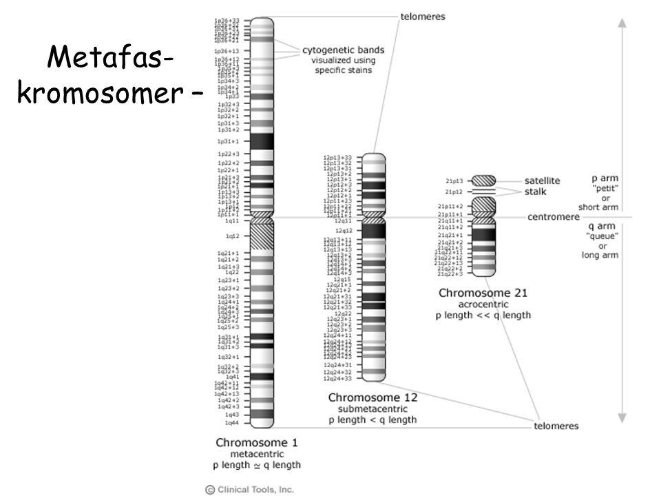 Metafas- kromosomer –