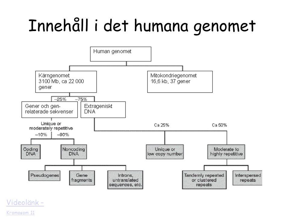 Videolänk – Kromosom 11 Innehåll i det humana genomet