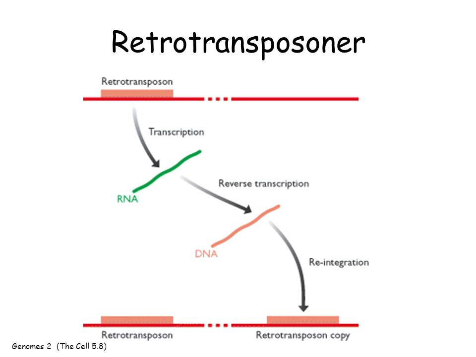 Retrotransposoner Genomes 2 (The Cell 5.8)