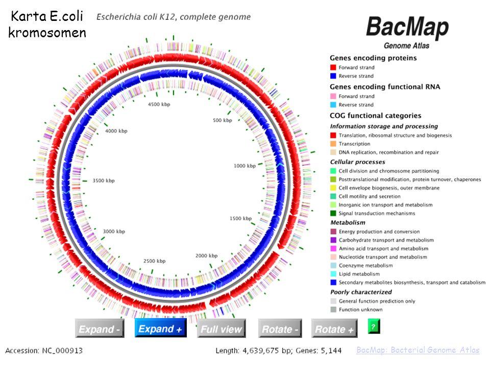expand 4,300,000 bp regionexpand 4,300,000 bp region Karta E.coli kromosomen BacMap: Bacterial Genome Atlas