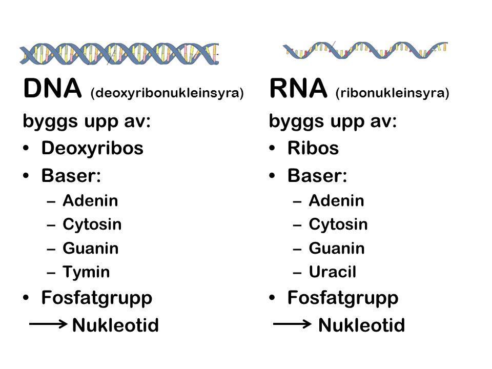DNA (deoxyribonukleinsyra) byggs upp av: •Deoxyribos •Baser: –Adenin –Cytosin –Guanin –Tymin •Fosfatgrupp Nukleotid RNA (ribonukleinsyra) byggs upp av