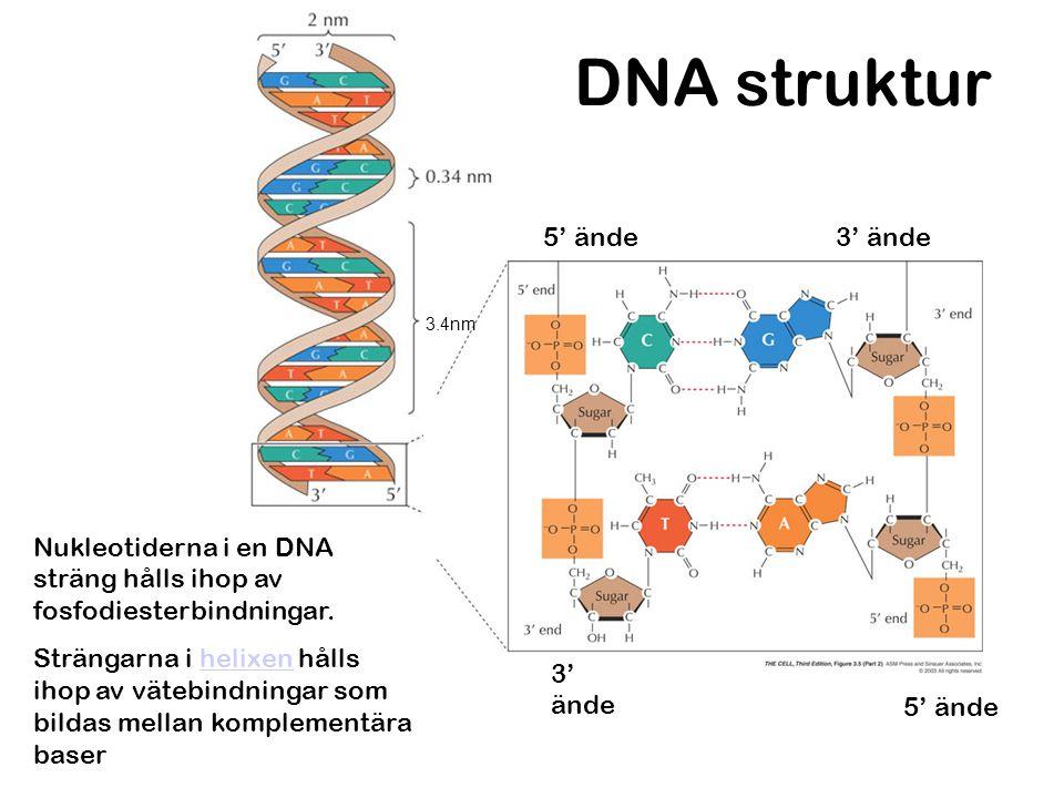DNA struktur Nukleotiderna i en DNA sträng hålls ihop av fosfodiesterbindningar. Strängarna i helixen hålls ihop av vätebindningar som bildas mellan k