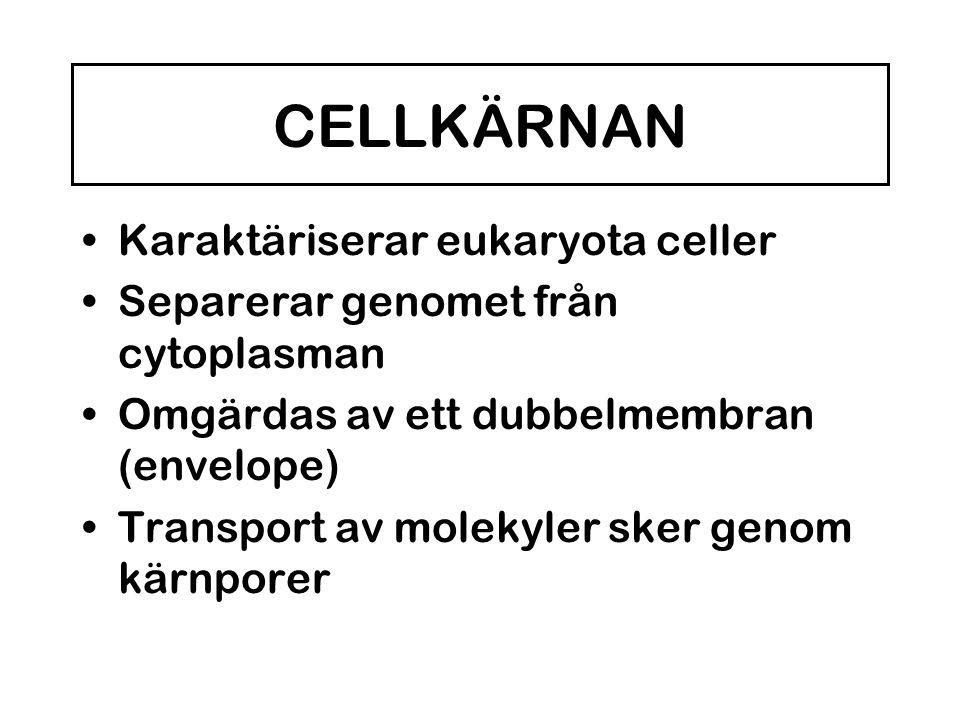 CELLKÄRNAN •Karaktäriserar eukaryota celler •Separerar genomet från cytoplasman •Omgärdas av ett dubbelmembran (envelope) •Transport av molekyler sker