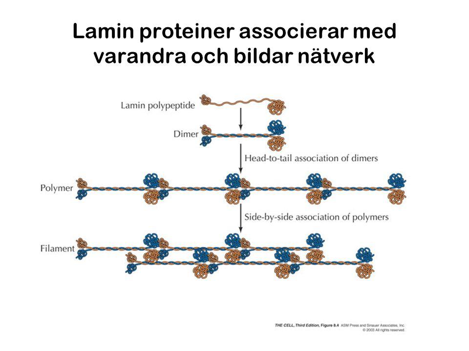 Lamin proteiner associerar med varandra och bildar nätverk