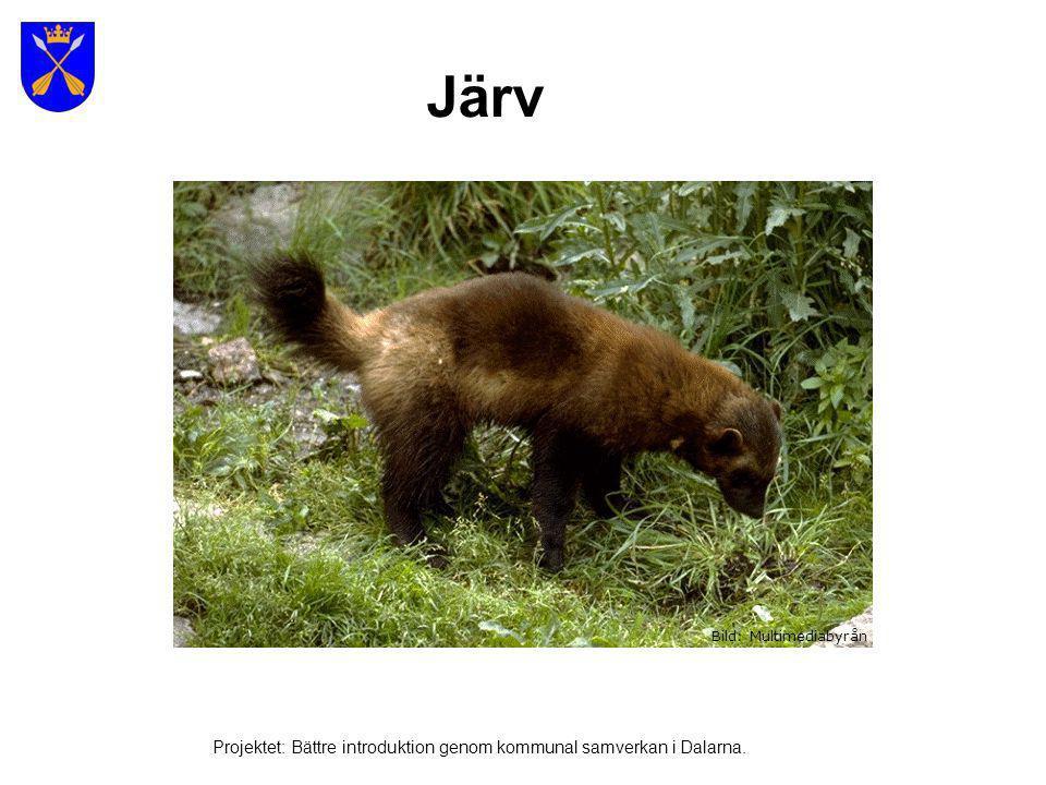 Lodjur Bild: Multimediabyrån Projektet: Bättre introduktion genom kommunal samverkan i Dalarna.