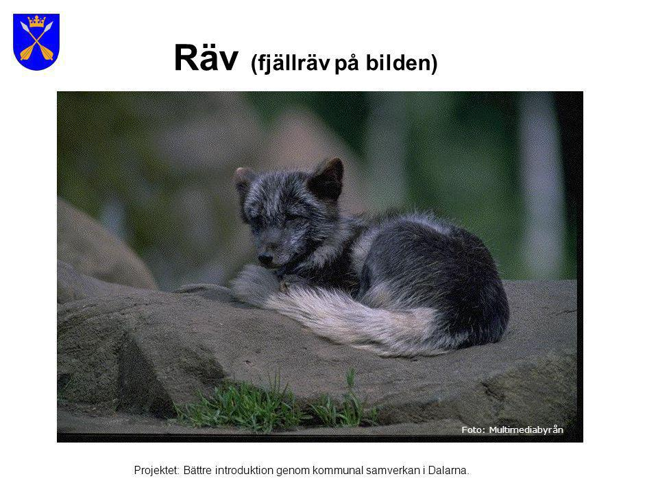 Rådjur Foto: www.fotoakuten.se Projektet: Bättre introduktion genom kommunal samverkan i Dalarna.