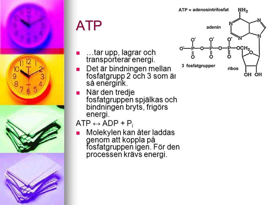 ATP  …tar upp, lagrar och transporterar energi.  Det är bindningen mellan fosfatgrupp 2 och 3 som är så energirik.  När den tredje fosfatgruppen sp