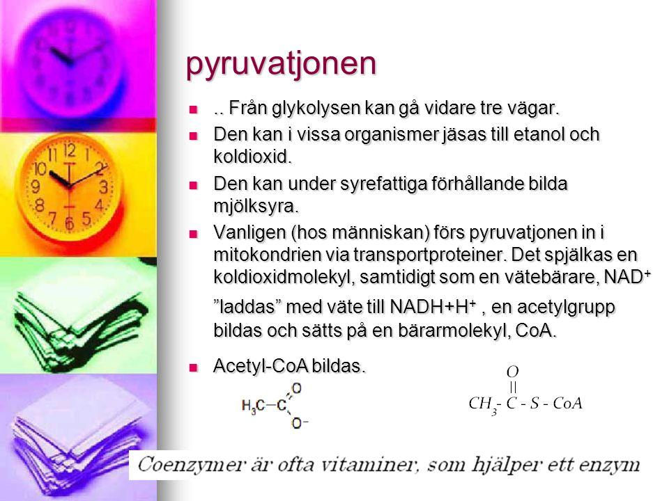 pyruvatjonen .. Från glykolysen kan gå vidare tre vägar.  Den kan i vissa organismer jäsas till etanol och koldioxid.  Den kan under syrefattiga fö