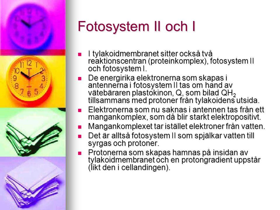 Fotosystem II och I  I tylakoidmembranet sitter också två reaktionscentran (proteinkomplex), fotosystem II och fotosystem I.  De energirika elektron