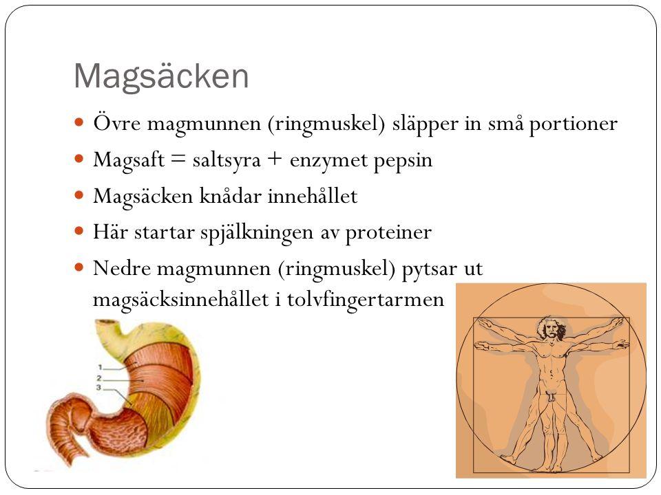 Magsäcken  Övre magmunnen (ringmuskel) släpper in små portioner  Magsaft = saltsyra + enzymet pepsin  Magsäcken knådar innehållet  Här startar spjälkningen av proteiner  Nedre magmunnen (ringmuskel) pytsar ut magsäcksinnehållet i tolvfingertarmen