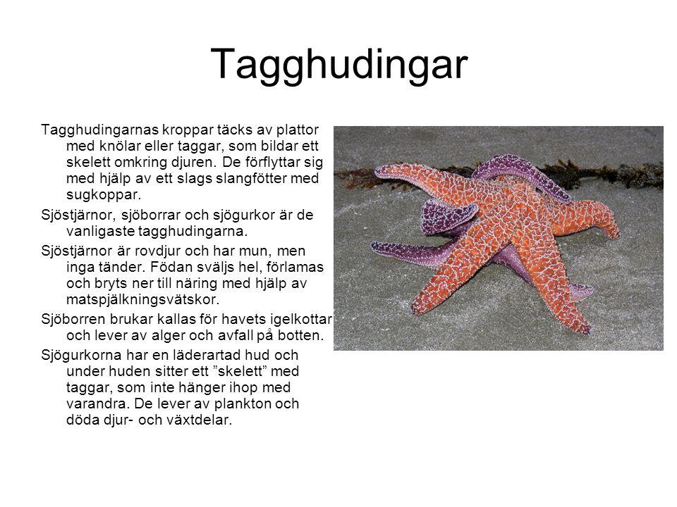 Tagghudingar Tagghudingarnas kroppar täcks av plattor med knölar eller taggar, som bildar ett skelett omkring djuren.