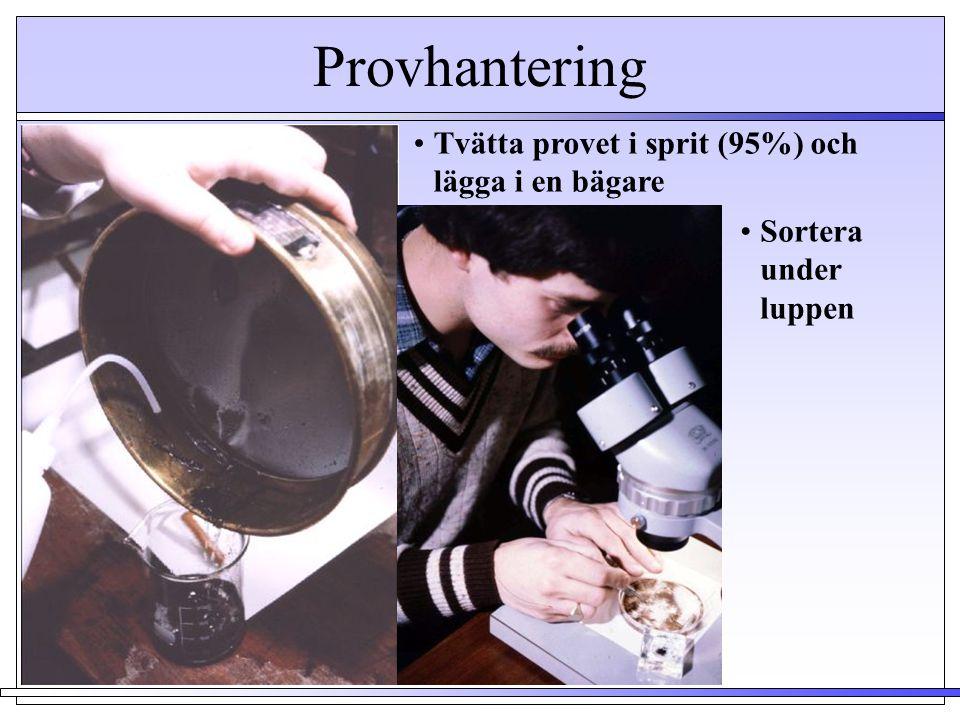 Provhantering •Tvätta provet i sprit (95%) och lägga i en bägare •Sortera under luppen