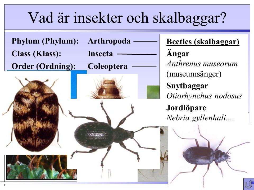 Vad är insekter och skalbaggar? Phylum (Phylum): Arthropoda Crabs (krabbar) Millipedes (tusenfoting) Daphnia - water fleas Spiders (spindlar) Class (K