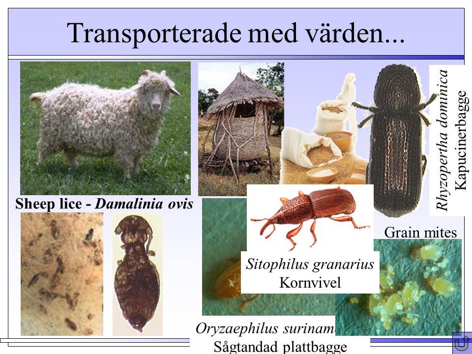 Transporterade med värden... Sheep lice - Damalinia ovis Oryzaephilus surinamensis Sågtandad plattbagge Grain mites Rhyzopertha dominica Kapucinerbagg