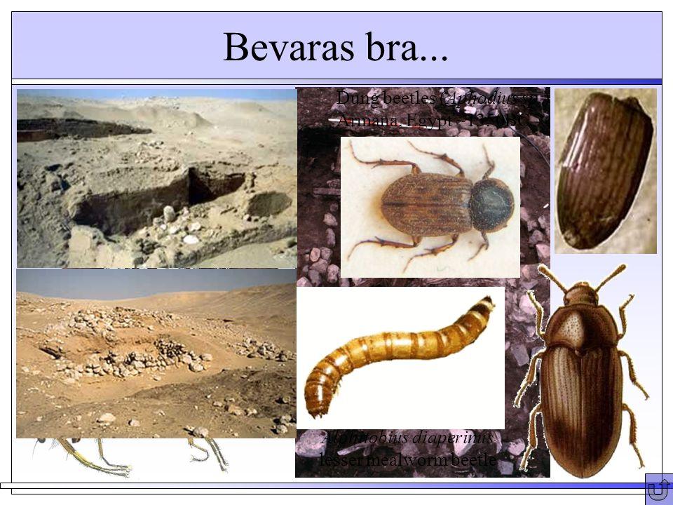 Bevaras bra... Heleomyza borealis - puparia Greenland ~1350AD Dung beetles (Aphodius sp.) Armana, Egypt ~1350BC Alphitobius diaperinus lesser mealworm