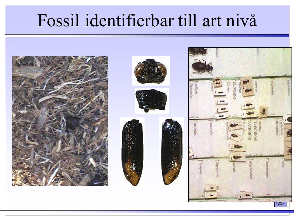 Huvud (head) Halssköld (thorax) Täckvingar (elytra) Fossil identifierbar till art nivå Notiophilus bigutatus