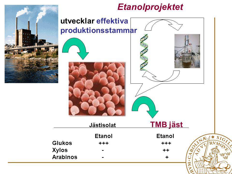 Jästisolat TMB jäst Etanol Etanol Glukos+++ +++ Xylos - ++ Arabinos - + utvecklar effektiva produktionsstammar Etanolprojektet