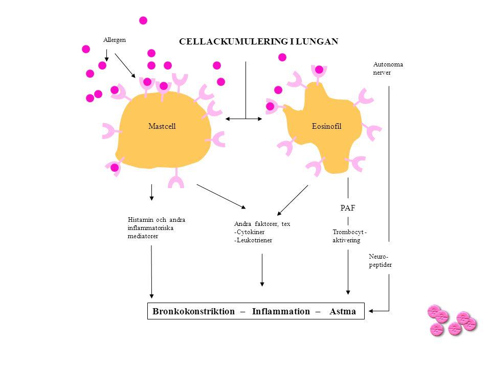 CELLACKUMULERING I LUNGAN Allergen Autonoma nerver Histamin och andra inflammatoriska mediatorer Andra faktorer, tex -Cytokiner -Leukotriener Bronkoko