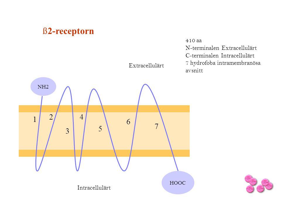 ß2-receptorn HOOC 410 aa N-terminalen Extracellulärt C-terminalen Intracellulärt 7 hydrofoba intramembranösa avsnitt NH2 Extracellulärt 1 2 3 4 5 6 7