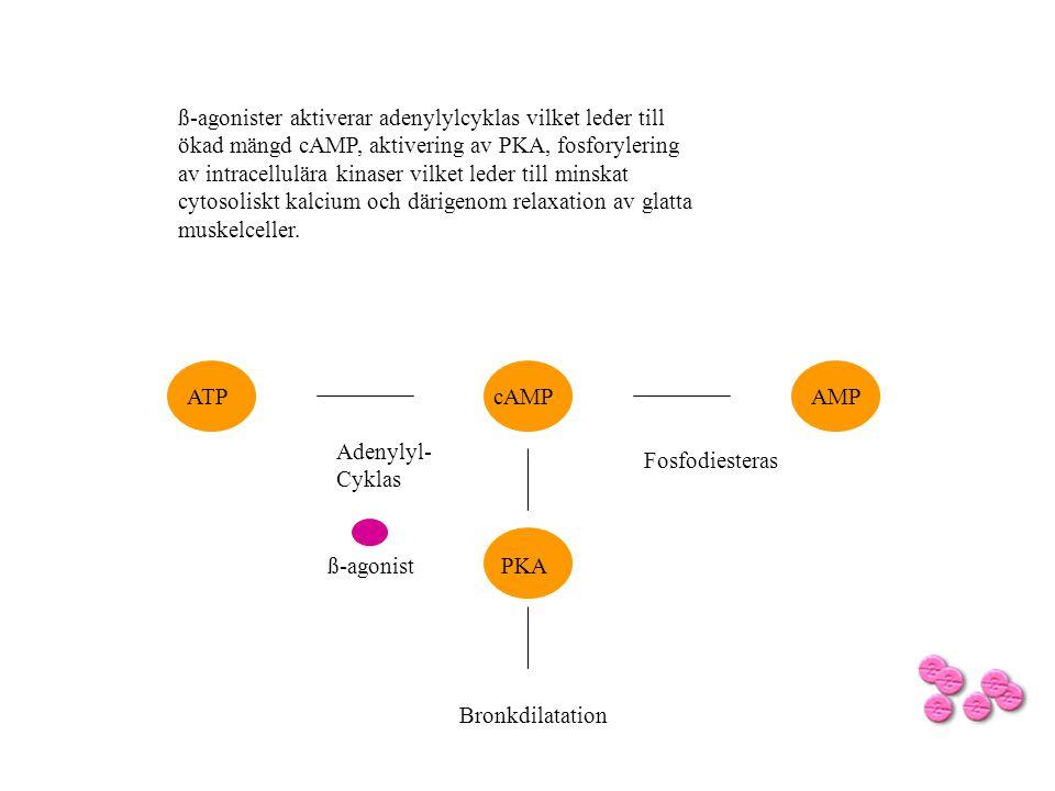 ß-agonist cAMPATPAMP Fosfodiesteras Adenylyl- Cyklas ß-agonister aktiverar adenylylcyklas vilket leder till ökad mängd cAMP, aktivering av PKA, fosfor