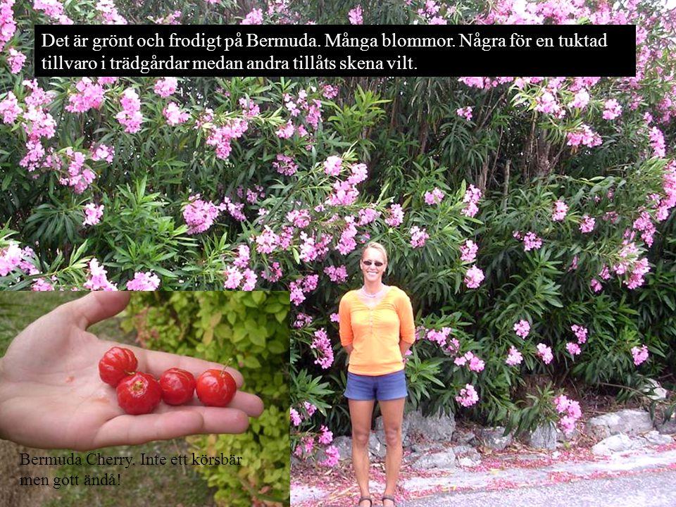 Det är grönt och frodigt på Bermuda. Många blommor.