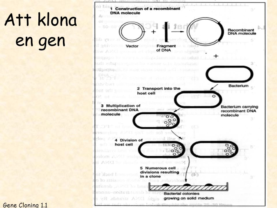 Ex. kloningsvektor med två selektionsmarkörer GC 5.9