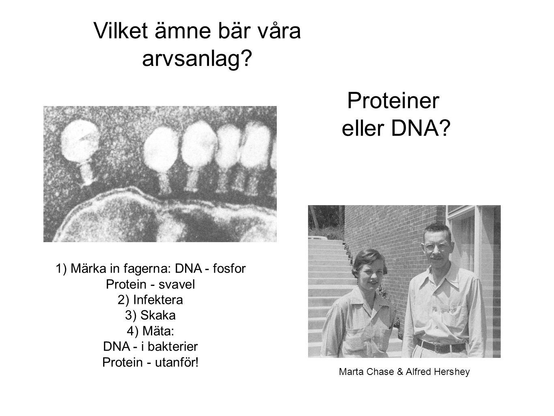 1) Märka in fagerna: DNA - fosfor Protein - svavel 2) Infektera 3) Skaka 4) Mäta: DNA - i bakterier Protein - utanför! Vilket ämne bär våra arvsanlag?