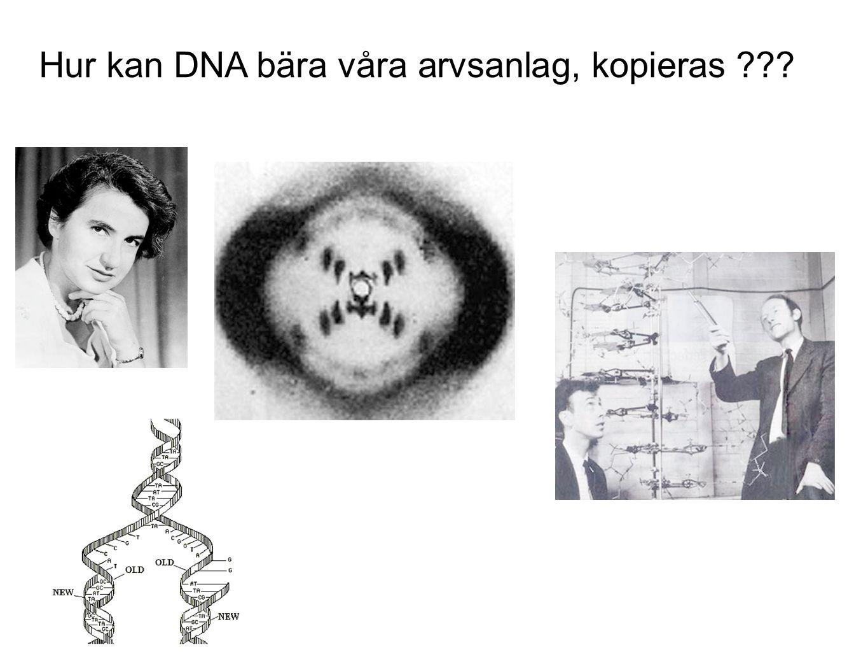 Hur kan DNA bära våra arvsanlag, kopieras ???
