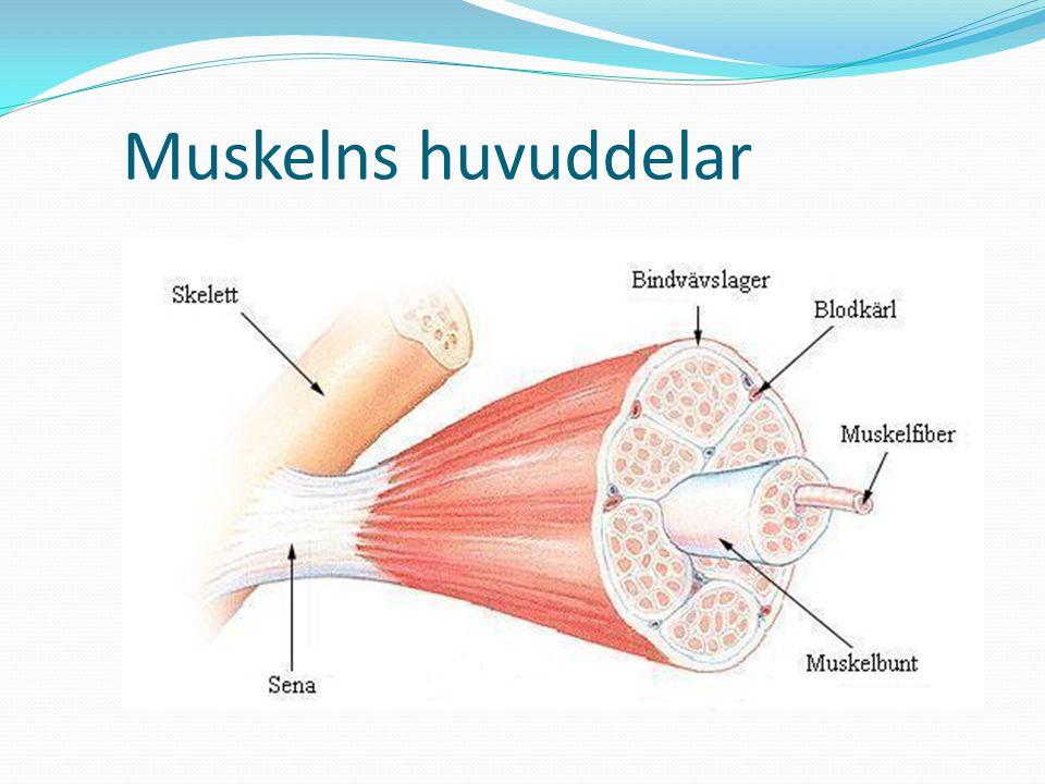 Muskelns huvuddelar