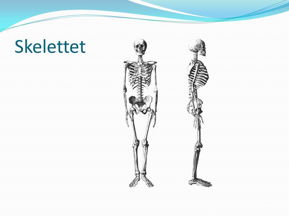 Leder och fogar  Skelettet är förbundet med varandra genom leder eller fogar  Lederna – rörliga förbindelser  Fogarna – stort sett fasta  Lederna och fogarna hålls samman av muskler och ledband – ligament  Lederna möjliggör rörelser mellan skelettdelarna