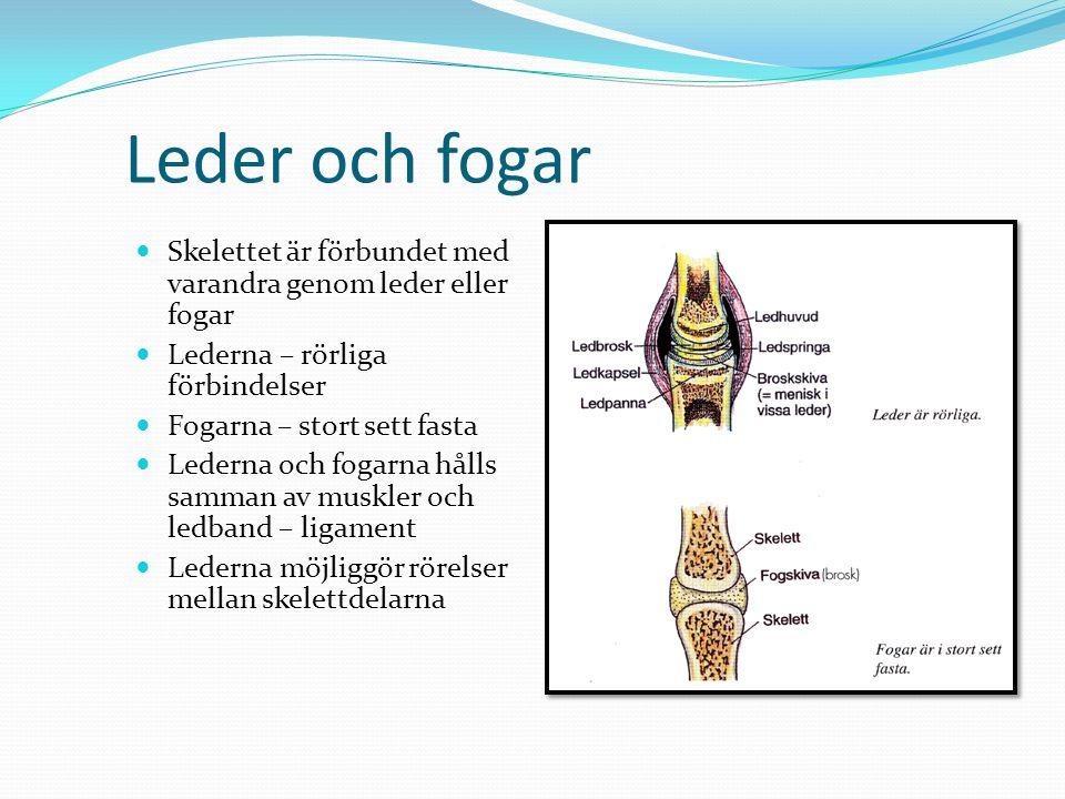 Lederna  Konstruktion och funktion  Olika typer av leder beroende på hur benen är formade  Ledspringan ett slutet rum med ledvätska som ger näring åt ledbrosket samt minskar friktion och förslitning på leden  Vissa leder där ledhuvud och ledpanna passar dåligt ihop, tex i knäleden är broskskivor sk menisker inpassade  Leden hålls alltså samman av ledband och muskler