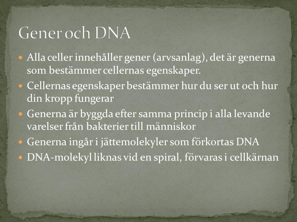  Alla celler innehåller gener (arvsanlag), det är generna som bestämmer cellernas egenskaper.  Cellernas egenskaper bestämmer hur du ser ut och hur
