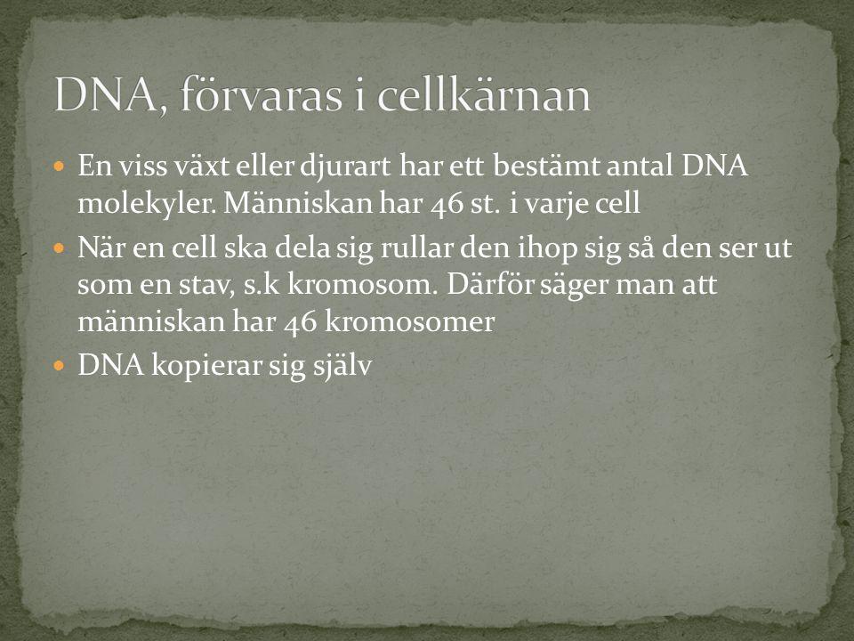  En viss växt eller djurart har ett bestämt antal DNA molekyler. Människan har 46 st. i varje cell  När en cell ska dela sig rullar den ihop sig så