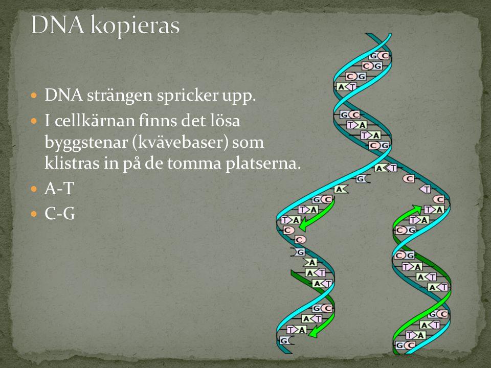  DNA strängen spricker upp.