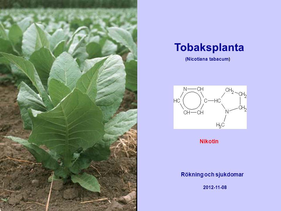 Tobaksplanta (Nicotiana tabacum) Rökning och sjukdomar 2012-11-08 Nikotin