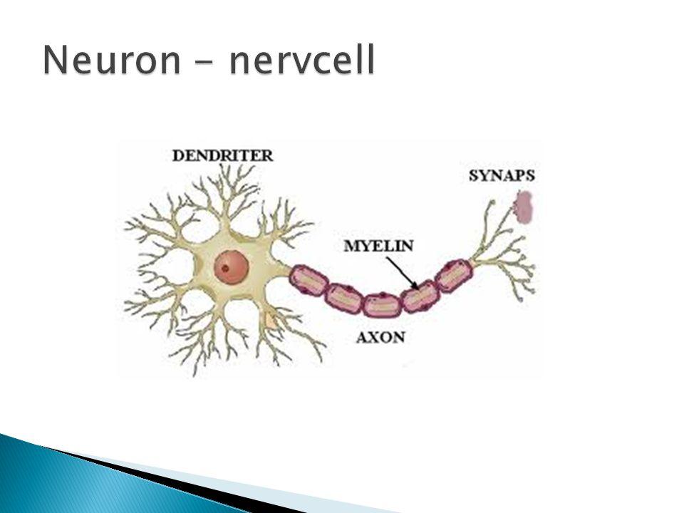  Förgreningar – dendriter 2-12 år  Pruning ( ansning )  Myelinisering 0-25 år  Hjärnans utveckling ej färdig förrän vid 25 år - frontalloben  6-13 år störst ökning av en individs kognitiva förmåga  Olika utveckling hos olika delar av hjärnan  Alla arbetsminnestester aktiverar frontalloben och den sena mognaden av frontalloben är en av de viktigaste förklaringarna till arbetsminnets utveckling under barndomen.