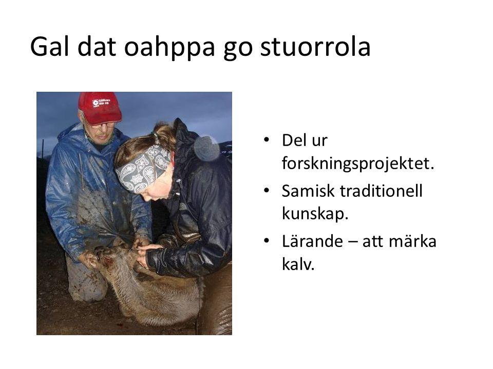 Gal dat oahppa go stuorrola • Del ur forskningsprojektet. • Samisk traditionell kunskap. • Lärande – att märka kalv.
