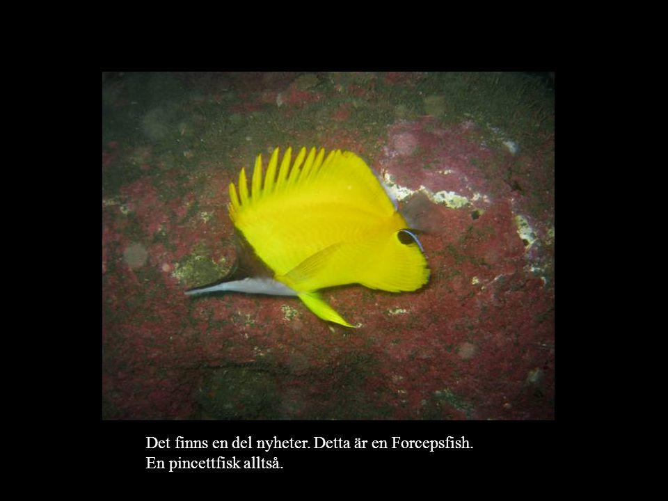 Det finns en del nyheter. Detta är en Forcepsfish. En pincettfisk alltså.