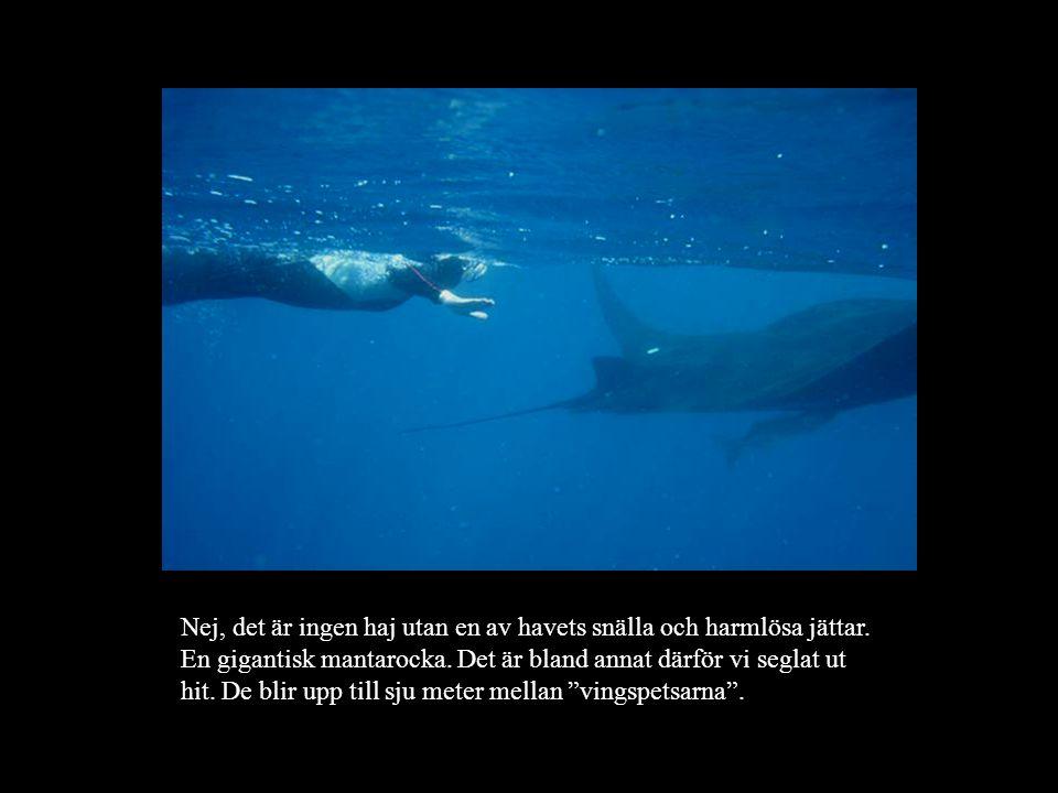 Nej, det är ingen haj utan en av havets snälla och harmlösa jättar.