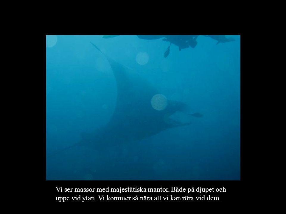 Vi ser massor med majestätiska mantor.Både på djupet och uppe vid ytan.