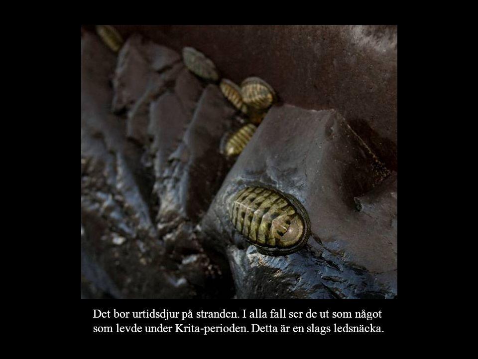 Det bor urtidsdjur på stranden.I alla fall ser de ut som något som levde under Krita-perioden.