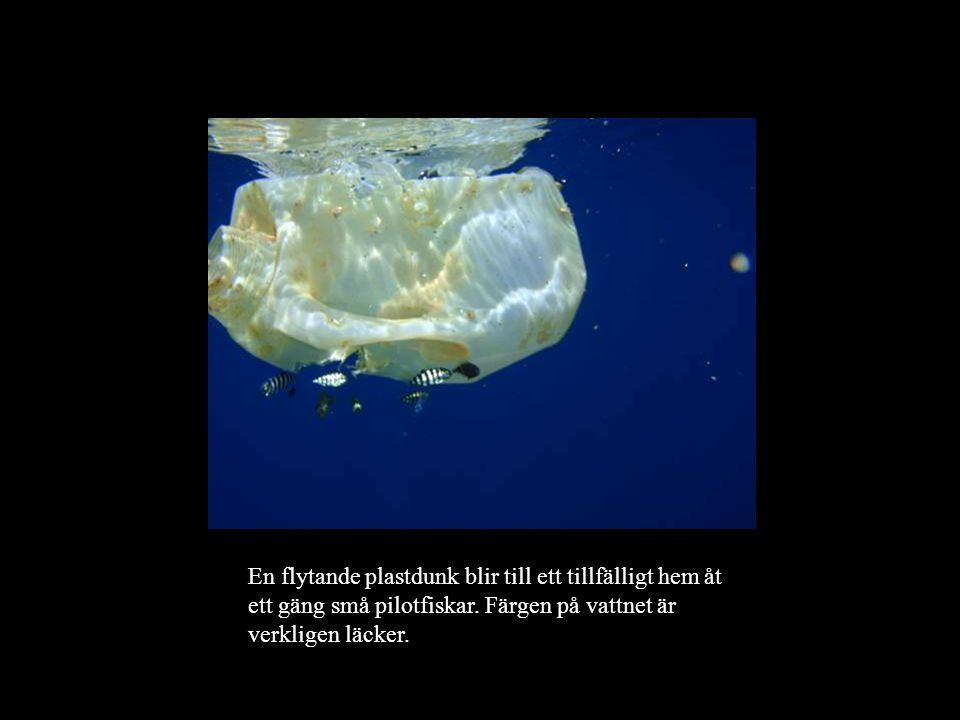 En flytande plastdunk blir till ett tillfälligt hem åt ett gäng små pilotfiskar.