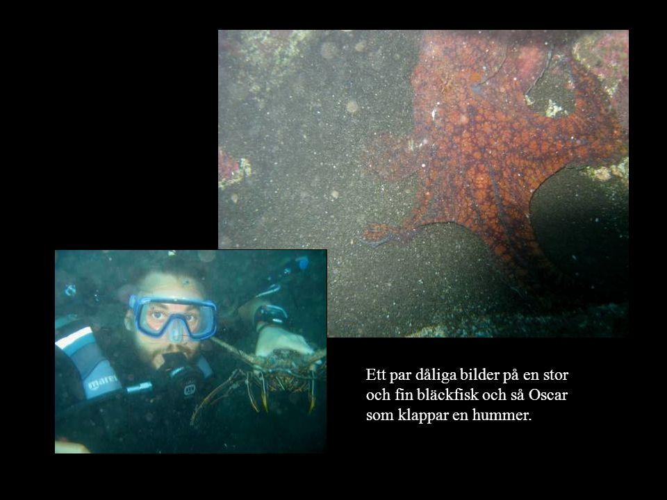 Ett par dåliga bilder på en stor och fin bläckfisk och så Oscar som klappar en hummer.
